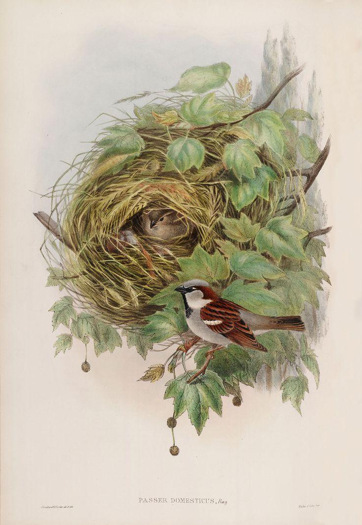 95ef5a474b220d58c57f58a423a49b54-house-sparrow-sparrows