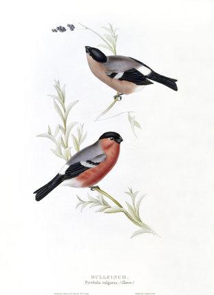 GOULDbullfinch1837