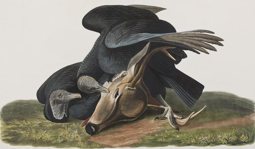 black-vulture-or-carrion-crow-john-james-audubon