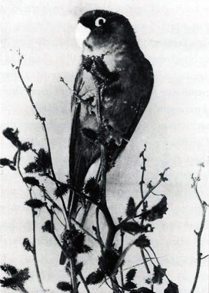 Live_captive_Carolina_parakeet