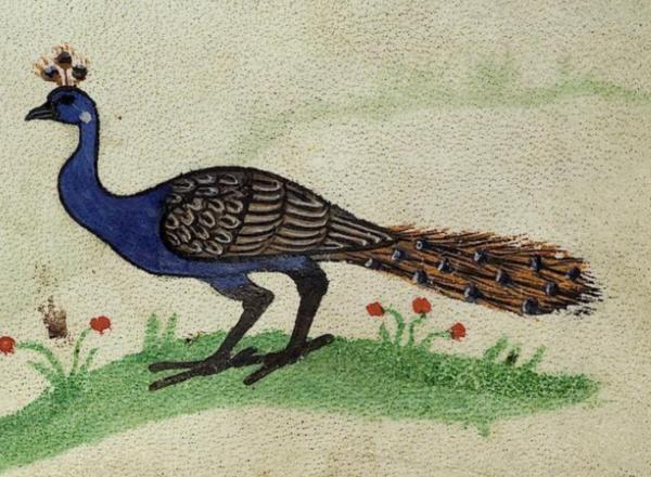 peacockFii