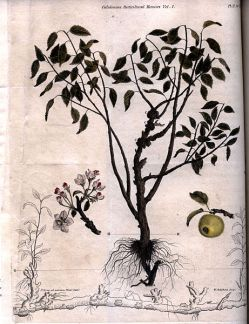461px-An_apple_tree_engraving_by_William_Miller_for_William_Archibald_1818