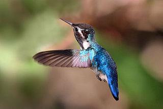 Bee_hummingbird_(Mellisuga_helenae)_adult_male_in_flight